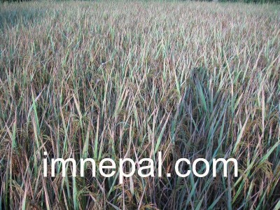 Picture, Image or Photo of Beaten Paddy in the Farm
