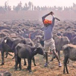 gadhimai festival nepal photos animals sacrifice goddess hindu
