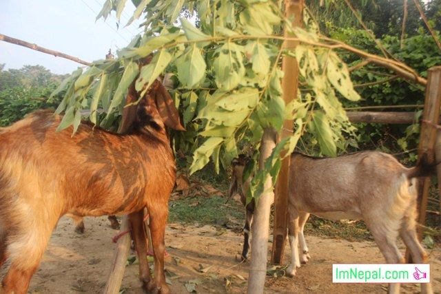 goat-farming-in-madhesh-terai-in-nepal
