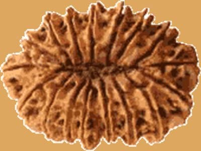 Rudraksha in Nepal – Price, Market, Kinds, Trees, Farming etc