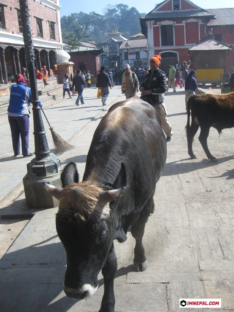 Cow Pashupatinath Temple Mandir Kathmandu Nepal World Heritage Sites Photos