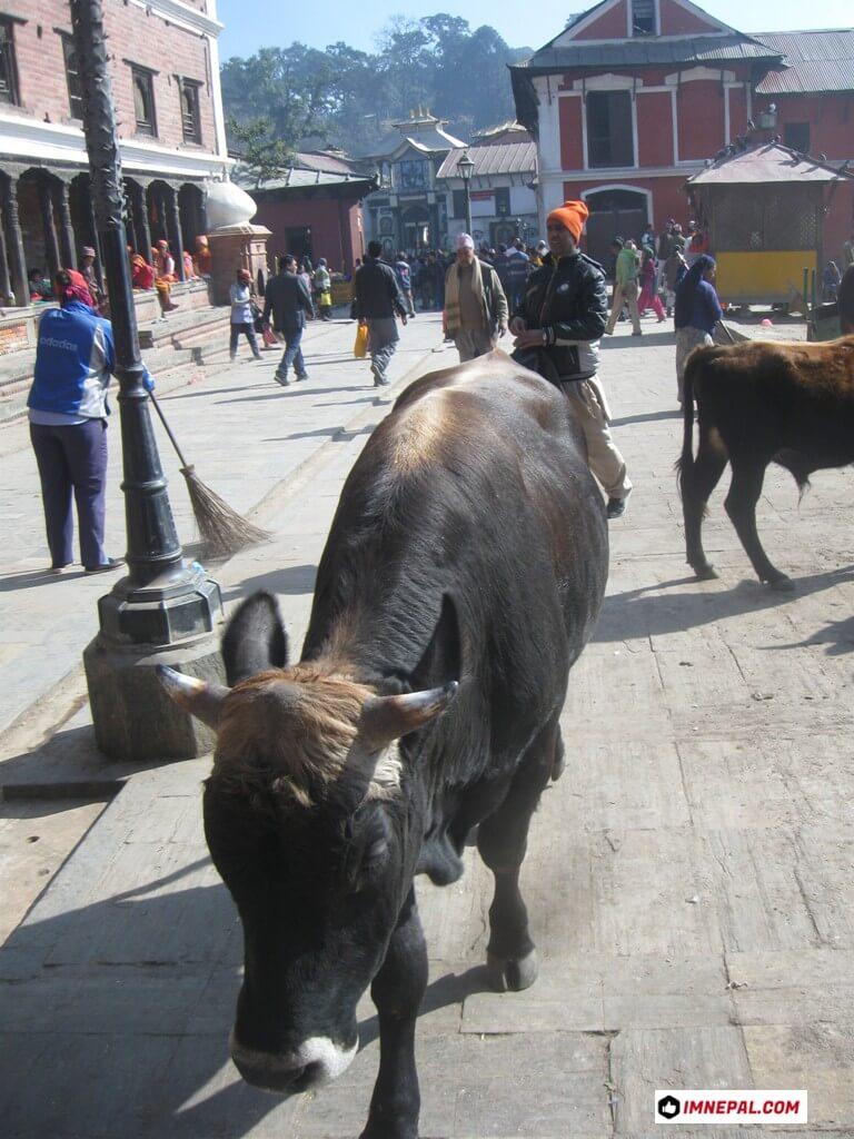 Cow Pashupatinath Temple Mandir Kathmandu Nepal World Heritage Sites Photos