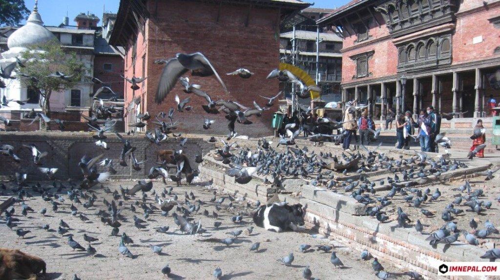 Pigeons Pashupatinath Temple Mandir Kathmandu Nepal World Heritage Site Images