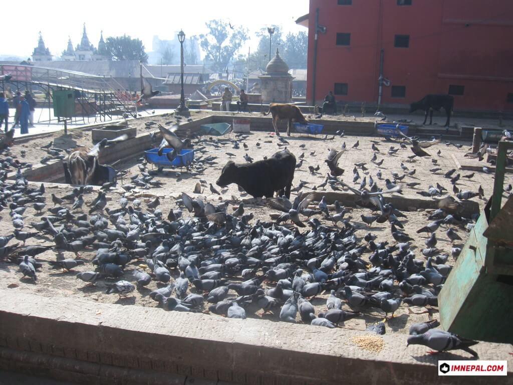 Pigeons cows Pashupatinath Temple Mandir Kathmandu Nepal World Heritage Site Photos
