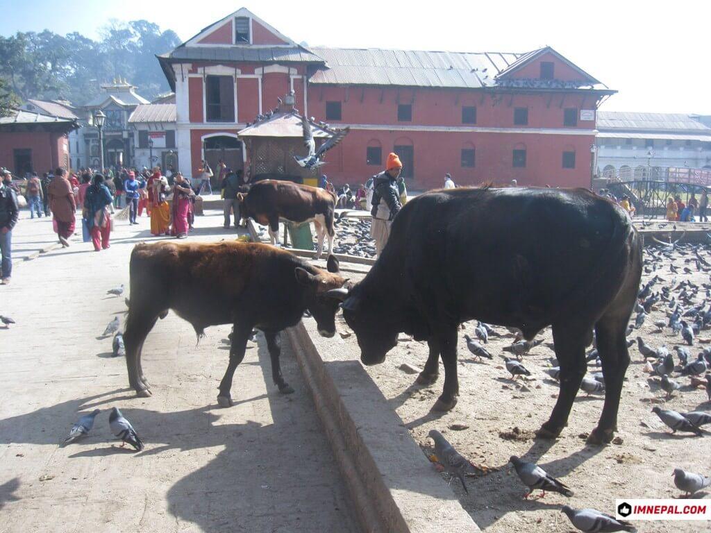 cows Pashupatinath Temple Mandir Lord Shiva Kathmandu Nepal World Heritage Site