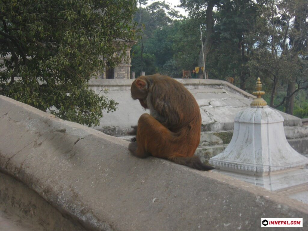 monkey Pashupatinath Temple Mandir Kathmandu Nepal World Heritage Sites Pic