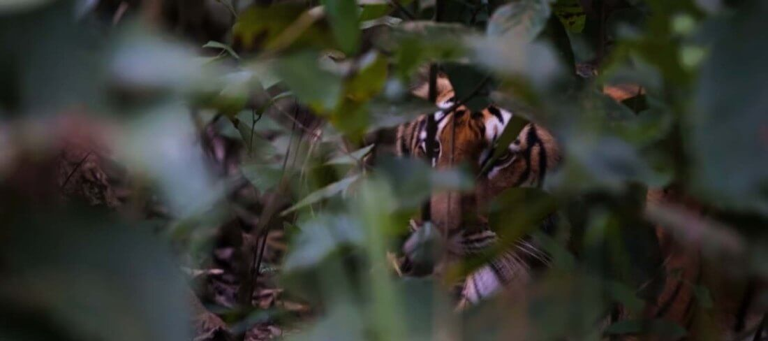 Tiger Chitwan National Park Nepal