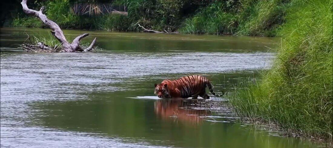 Tiger on Chitwan National Park Nepal