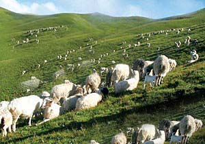 khaptad national park Nepal sheeps