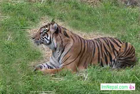 single tiger in Nepal Image