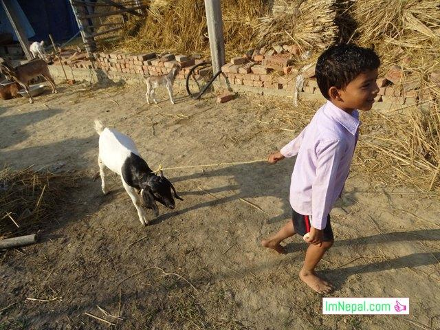 A Kid is draging a Goat - Dashain goat Nepal