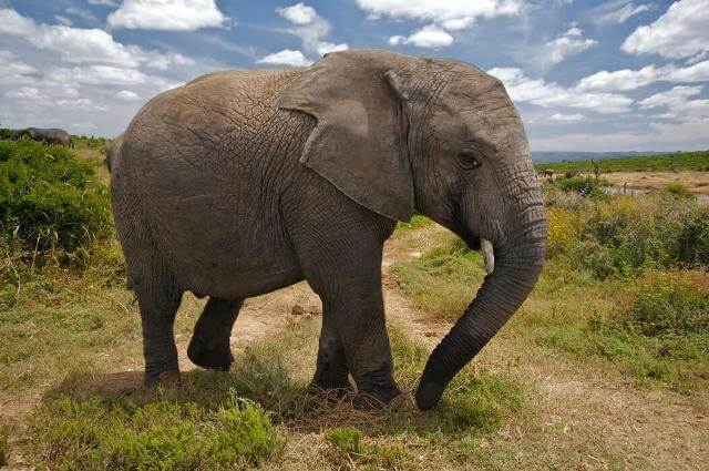 Asiatic Elephant