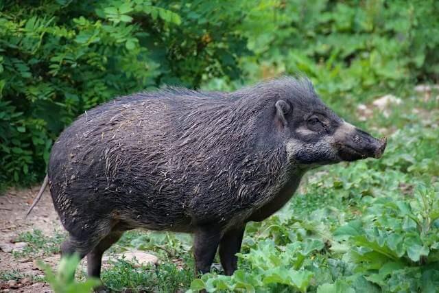 Pigmy Hog