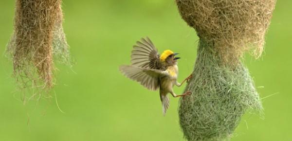 wildlife reserve of Nepal koshi tappu dhorpatan, shuklaphant, parsa, bird watching