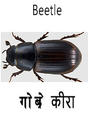 Beetle - Insect name in English and Nepali