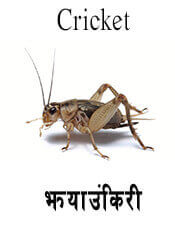 Cricket - Insect name in English and Nepali