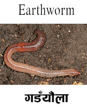 Earthworm - Insect name in English and Nepali