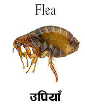 Flea - Insect name in English and Nepali