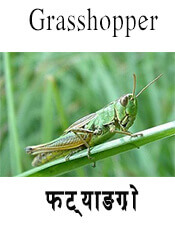 Grasshopper - Insect name in English and Nepali