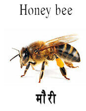 Honey bee - Insect name in English and Nepali