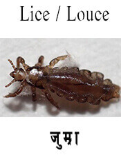 Lice Louce - Insect name in English and Nepali