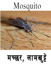 Mosquito - Insect name in English and Nepali