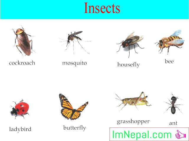 Name of Worms, Insects in Nepali English Language