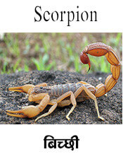 Scorpion - Insect name in English and Nepali