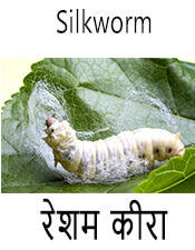 Silkworm - Insect name in English and Nepali