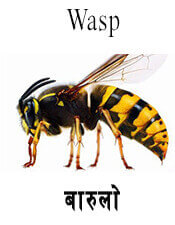 Wasp - Insect name in English and Nepali