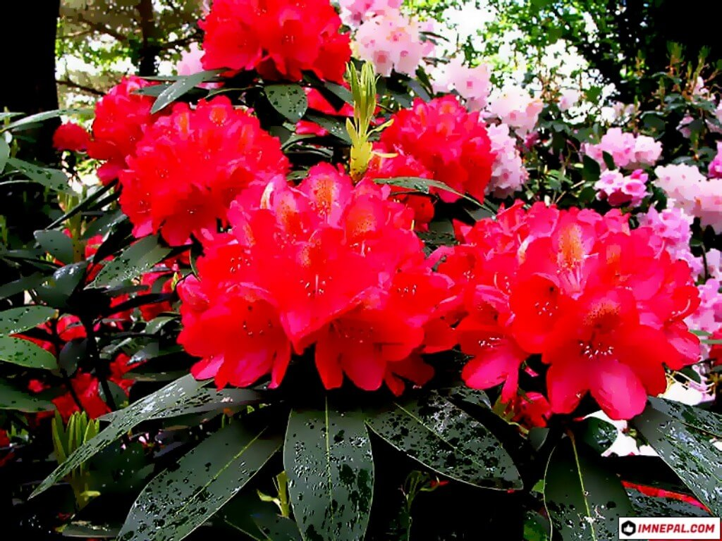 Laliguras Rhododendron flower image