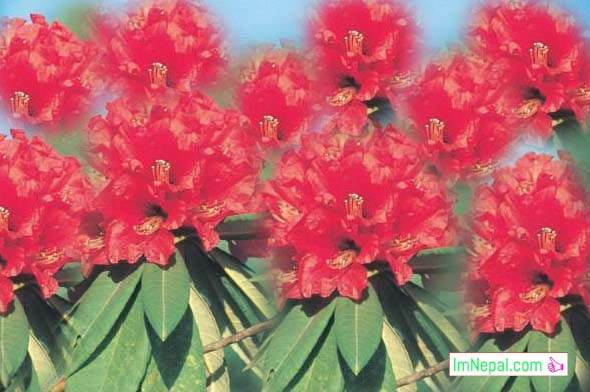 rastriya national flower nepal crossword laliguras laligurans himal phool