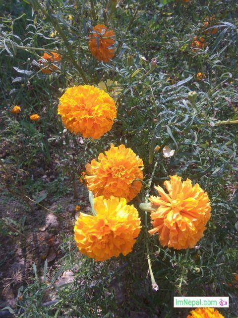 Sayapatri Marigold Flowers in Tihar Festival