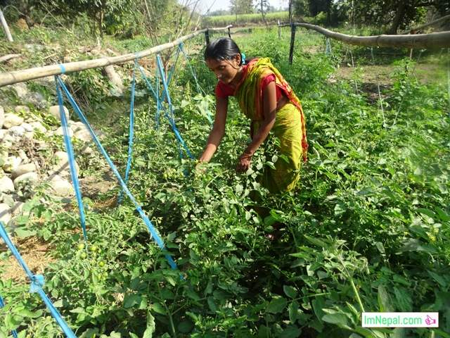 A woman farmer is farming tomato in Nepal