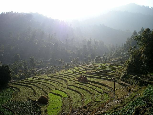 nepal rice terraces hilly region green area Picture