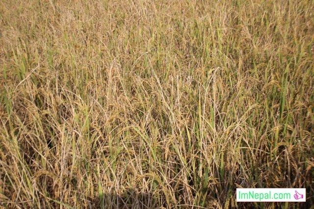paddy-rice-farming-in-madhesh-terai-nepal
