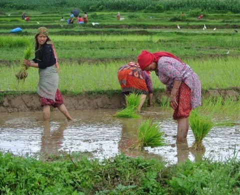 Nepal nepalese women people rice paddy Asar Ropai Farming essay on agriculture