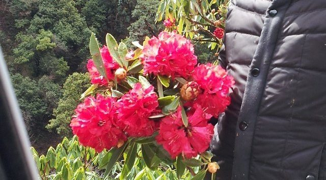 Laligurans flower of Nepal
