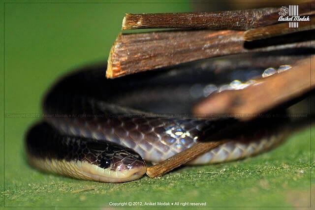 Black krait Bungarus niger snake