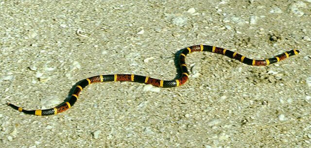 Coral snakes in Nepal