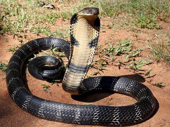 King Cobra Ophiophagus hannah snake