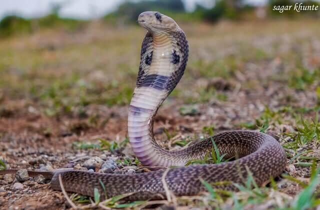 Naja naja baby snake image