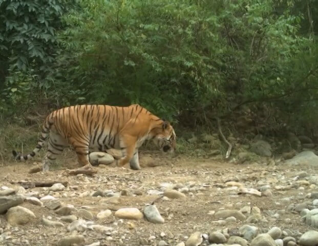 Tiger in Banke National Park, Nepal
