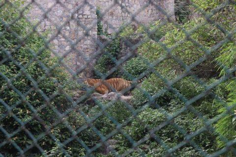 Zoo Kathmandu Nepal Photos Images Animal Pictures Travel Tours Holidays tigers