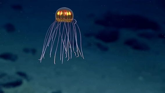 Animal In The Mariana Trench
