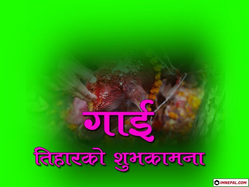 Happy Gai Tihar Cow Puja Greetings Cards Image