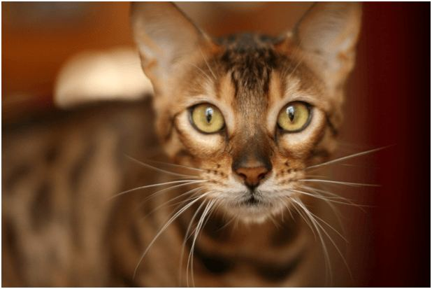 A Guide On Bengals, An Intriguing Cat Breed