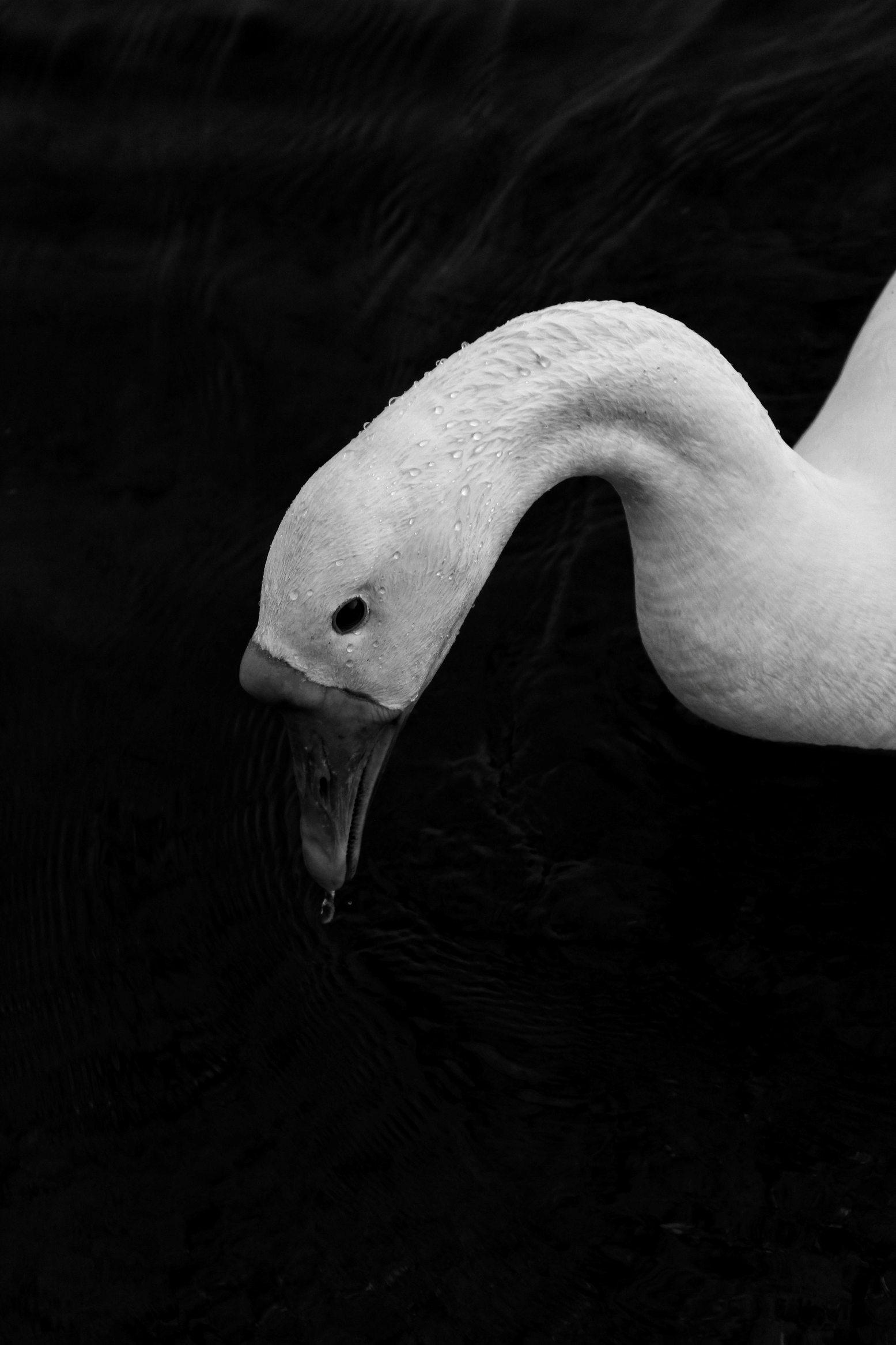 black wallpaper swan